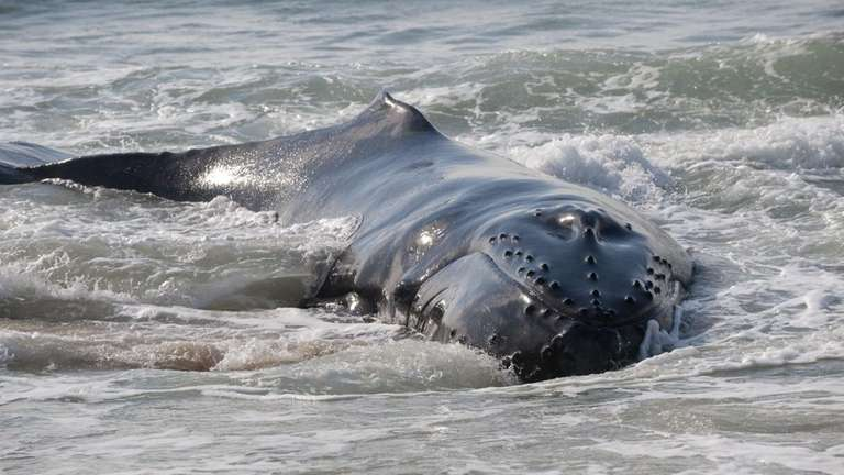 A whale that washed up yesterday morning near