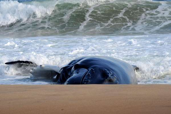 A humpback whale remains beached near Main Beach