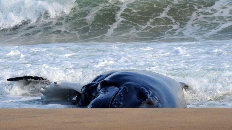 A humpback whale remains beached near Main Beach