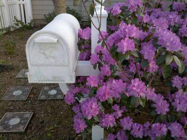 Rhododendron in full bloom in Jessica Damiano's garden