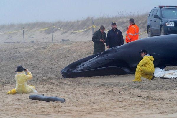 The dead humpback whale lies on Main Beach