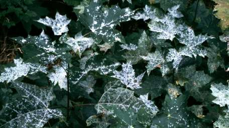 Powdery mildew, shown here on a maple, is