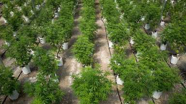 Rows of cannabis plants grow in the 20,000-square-foot
