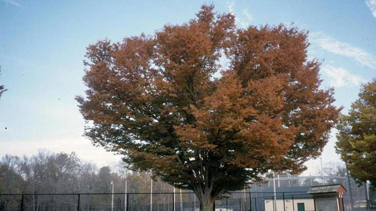 Zelkova trees like this one will be planted