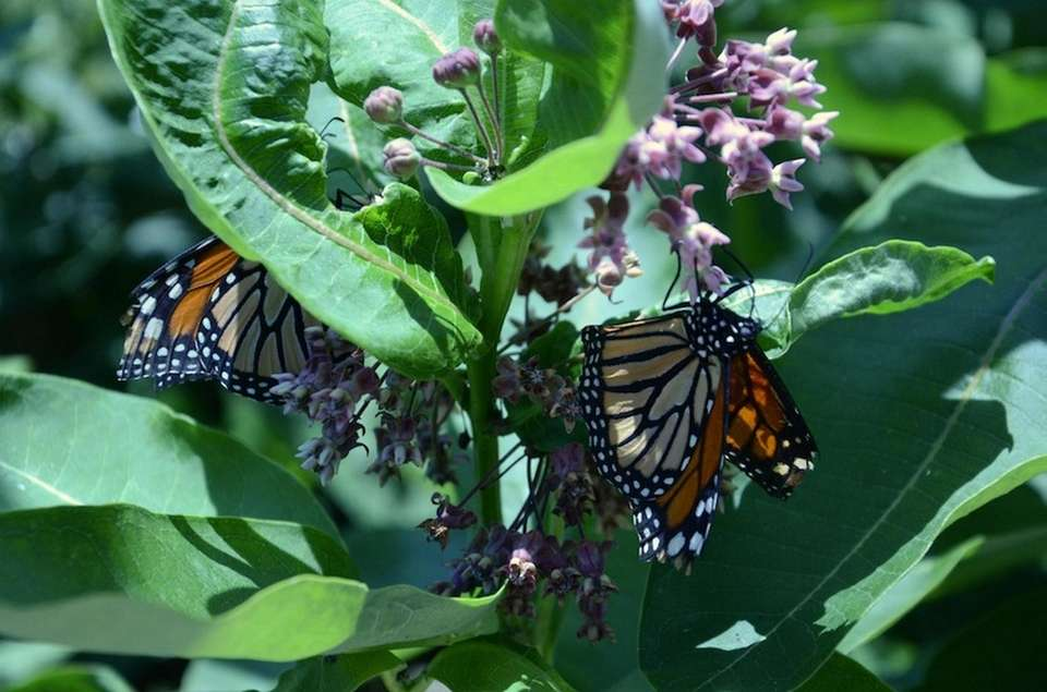 Two monarch butterflies cling to flowers inside the