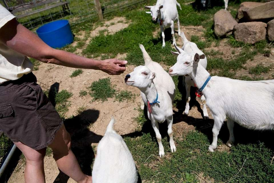 Goats are photographed at Catapano Dairy Farm in
