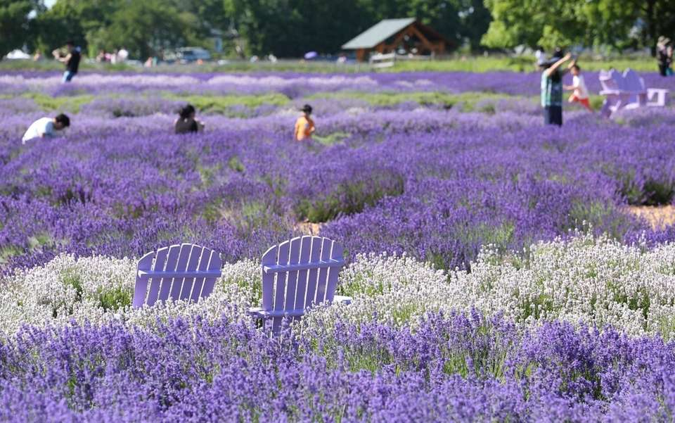 Visitors take in the fields of lavender at