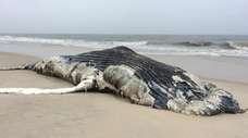 The body of a dead humpback whale washed