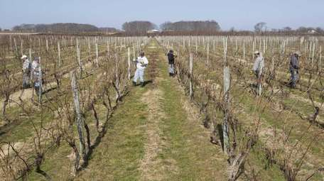 Some of the acreage of vines at Palmer
