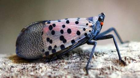 A spotted lanternfly adult at rest with its