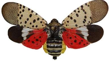 A spotted lanternfly adult pinned with its wings