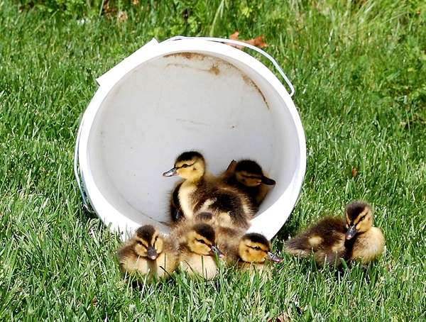 Ducklings are set free after Suffolk County Police
