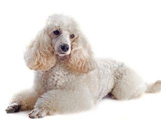 A white poodle dog
