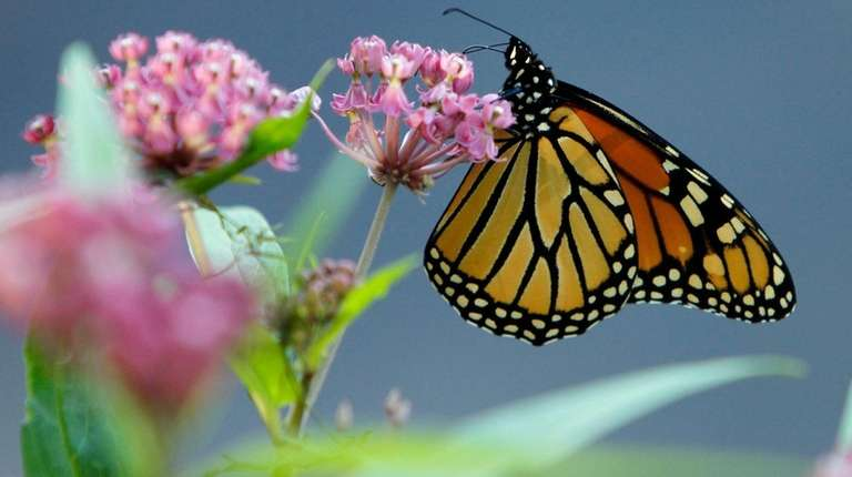 A Monarch butterfly eats nectar from a swamp