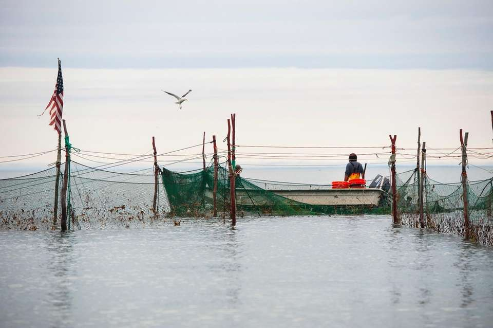 Commercial fishermen collect fish from their nets along