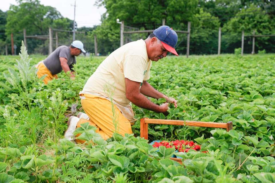 Carlos Rivera harvests strawberries at Latham Farms in