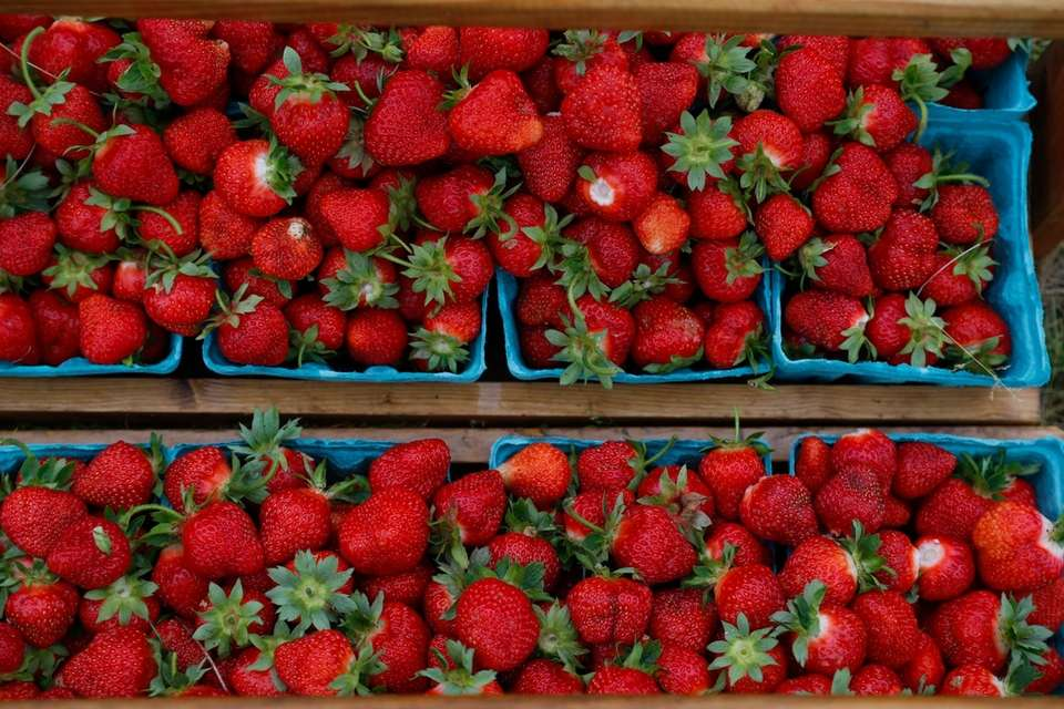 Strawberries harvested from Latham Farms in Orient at