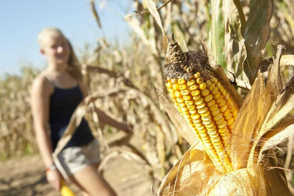 In late August, sweet corn is ripe for
