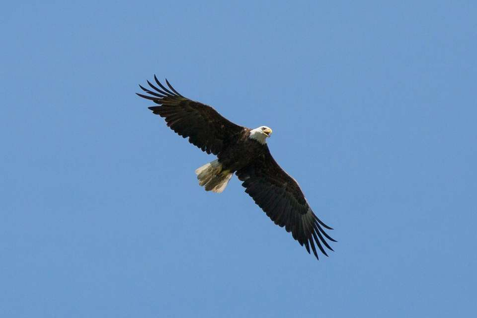 A bald eagle takes flight over Mill Pond