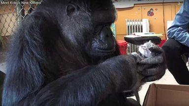 Koko, a western lowland gorilla, died last week