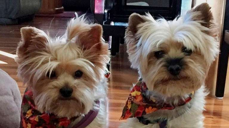 Brookhaven Town Probes Rottweilers Fatal Attack On 2 Yorkies Newsday