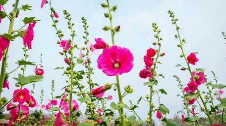 Hollyhocks color the landscape in July.