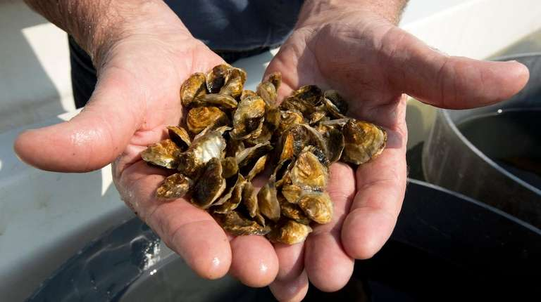 Craig Strong, of Bay Management Specialists, inspects oysters