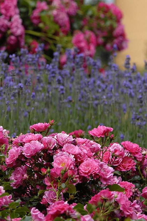 Roses, like these pink Flower Carpets, are in