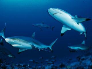 "NatGeo Wild's ""Sharkfest"" is a two-week  shark-centric"