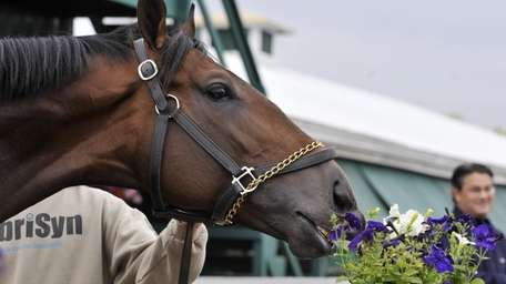 Preakness hopeful First Dude takes a bite of