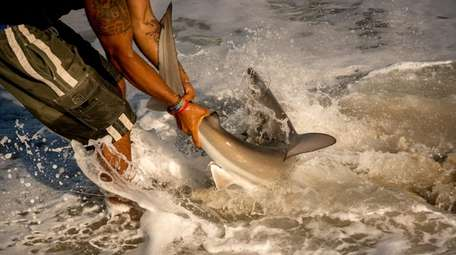 Chris Stefanou, hauling in a sandbar shark at
