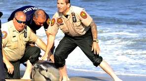 Nassau police restrain a live dolphin that washed
