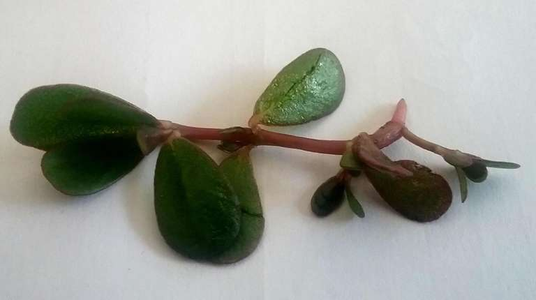 Purslane is a common weed that spreads via