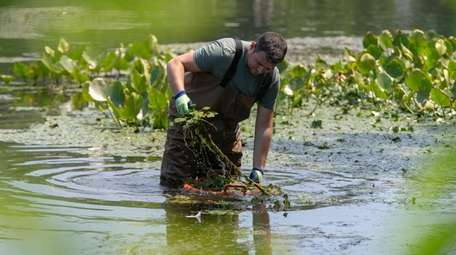 David Ganim removes invasive water chestnut plants from