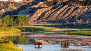 Bison cross the Little Missouri River in Theodore