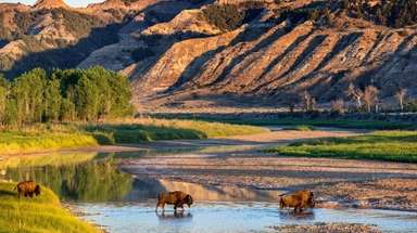 Bison cross the Little Missouri River in Theodore
