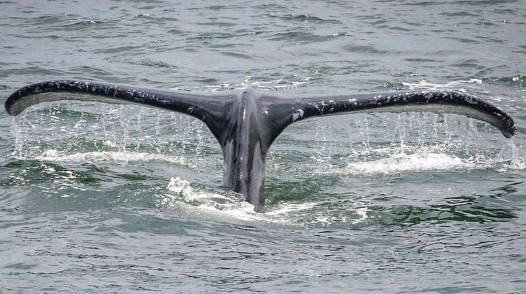 A humpback whale is seen from the Atlantic