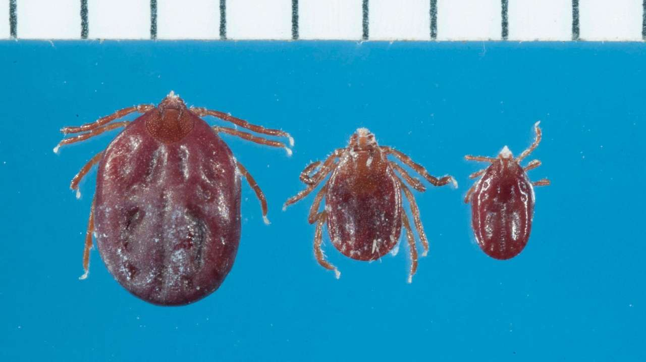 Longhorned' tick found in New York, growing number of states