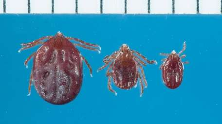 The longhorned tick -- from left, a fully