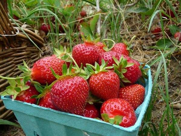 Fresh strawberries in the u-pick field at Patty's