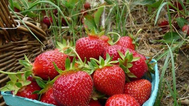 Fresh strawberries in the u-pick field at Patty's