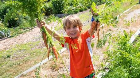 Ian Libretto, 4, of East Northport, harvests carrots