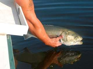 A bluefish is released back into local Long