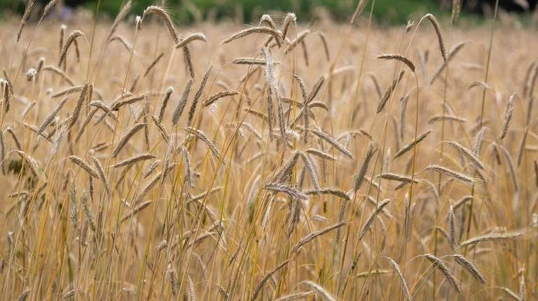 A field of rye, used to make whiskey,