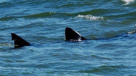 A harmless 15 foot basking shark cruises off
