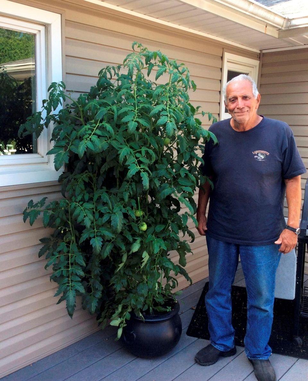 Frank Licciardi is growing the beefsteak tomato plant