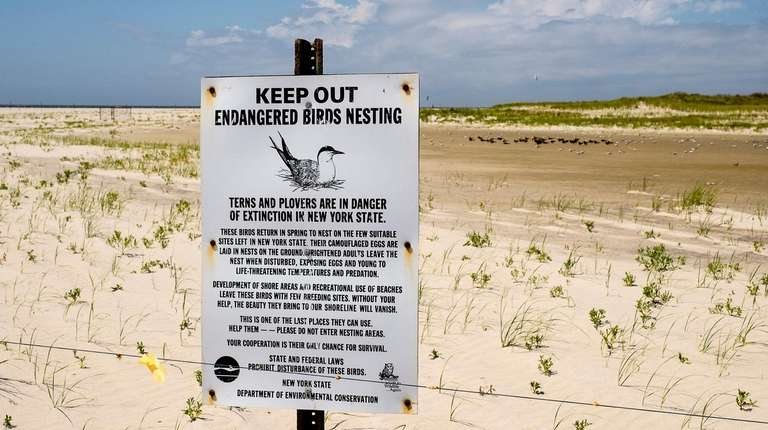The piping plover is an endangered species in