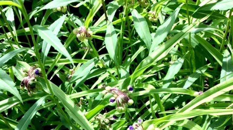 Dayflower species, likely Commelina communis L., have taken