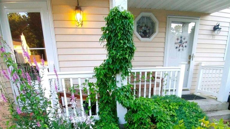 Wild yam (Diosorea villosa) grows among the hostas