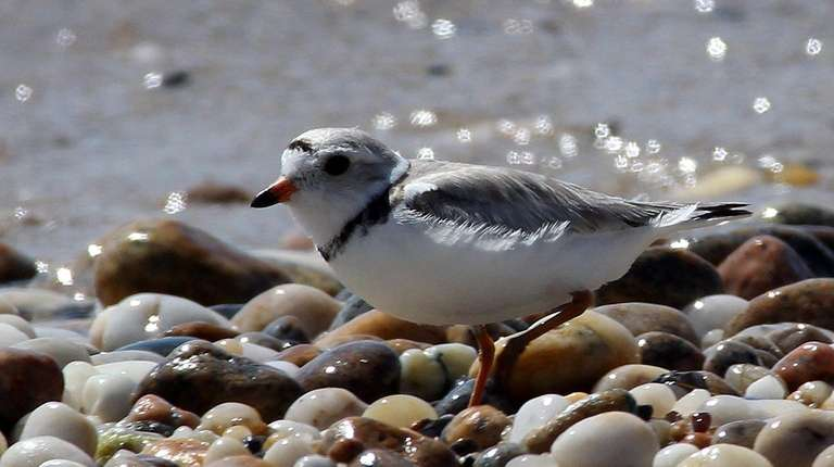 The piping plover is a threatened shorebird protected